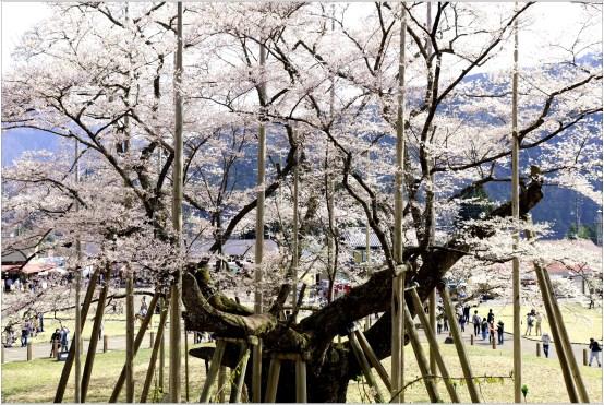 淡墨桜3の1-3