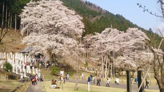 淡墨桜1の2-4