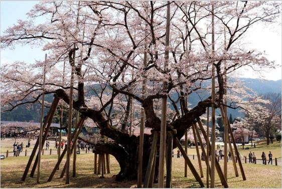 淡墨桜3の4-2