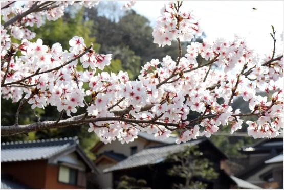 奥山田桜4の3-6