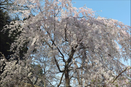 奥山田桜2のヘッド