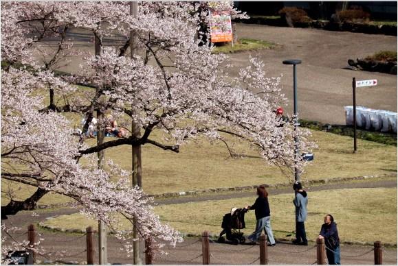 淡墨桜2の4-1