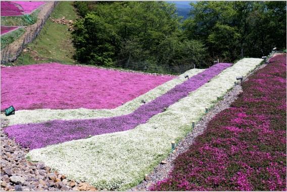 茶臼山5の8芝桜の階段