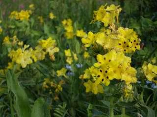 カフカスの花、6月