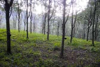ゴムの木林が多い。