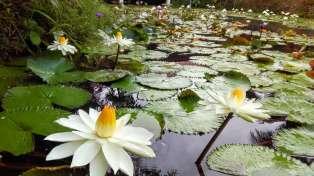 ゲストハウスの池の花