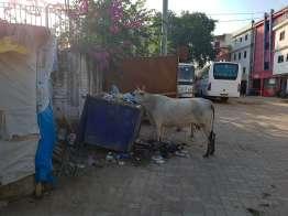 ゴミをあさる牛