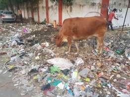 ゴミを食らう牛の乳を飲む人々