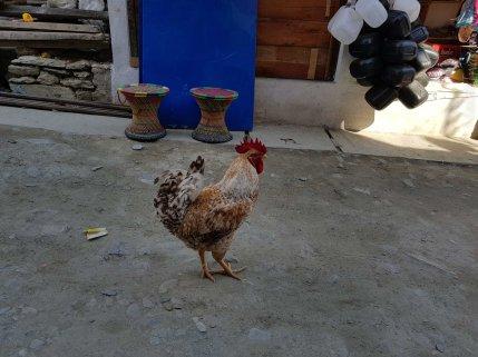 大きな雄鶏