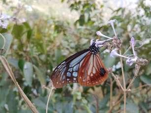 蝶 Singa,Nepal
