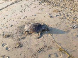 ウミガメの死