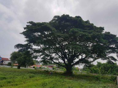 大傘の大木
