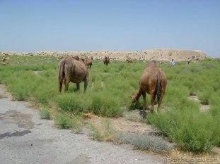 ラクダの群れに遭遇