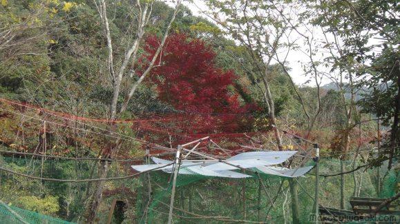 秋の紅葉もみじ