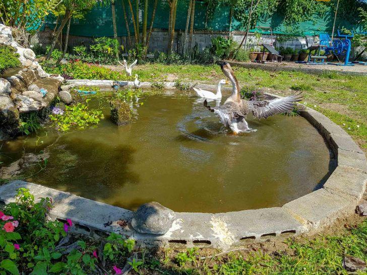 ガチョウの水浴び