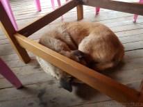 テーブルの下に犬が居た
