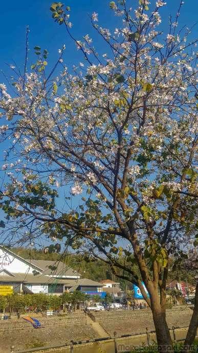 遠くからは桜の用に見える花