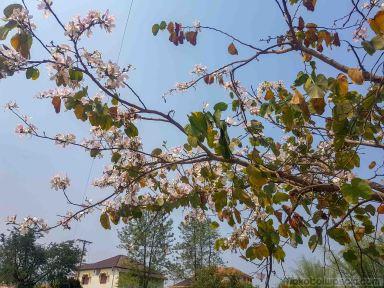 サムヌア再び:フォー、両替、博打、太陽がまぶしい、山の木の花