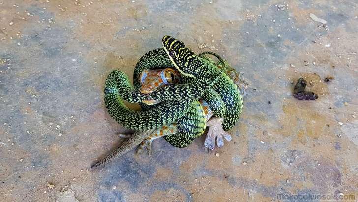 ゲッコー対蛇
