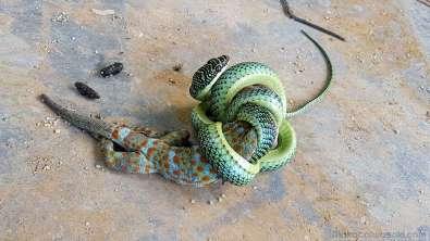 15:35 ゲッコーはぐったり動かない。まだ締め付けをやめない蛇