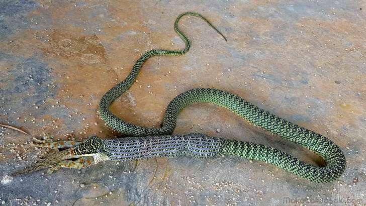 蛇の口は無限に大きく開く