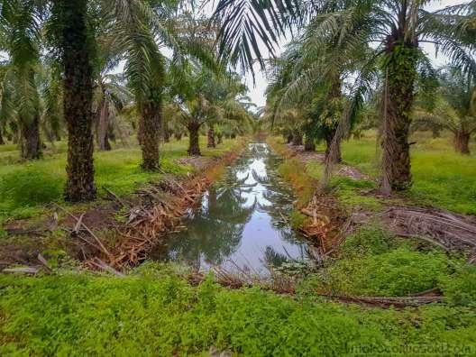 油椰子の畑