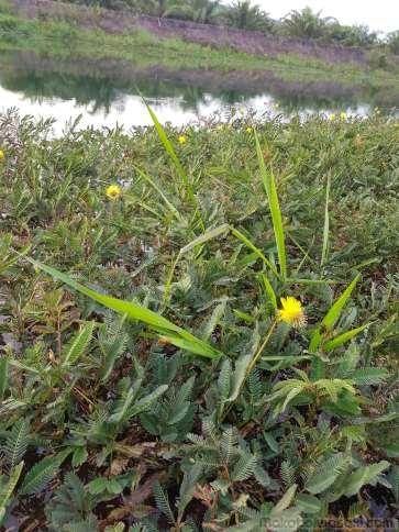 黄色い花のおじぎ草発見。水上に繁茂している。