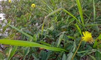 黄色い花の水上御辞儀草