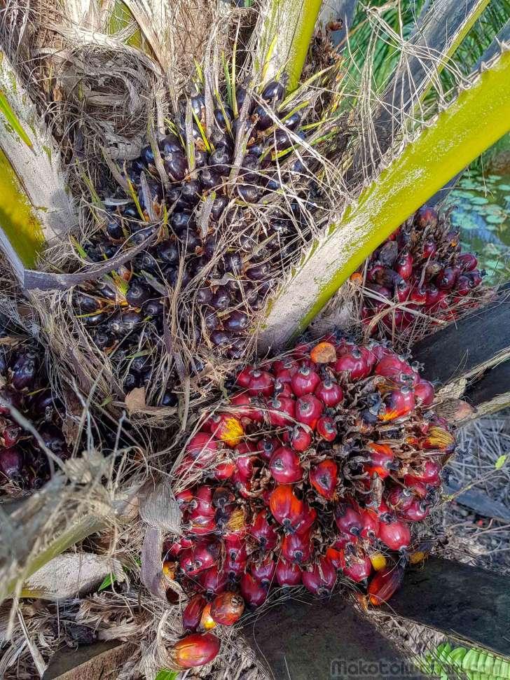 油椰子の実
