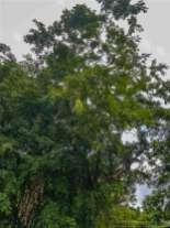 大きなサトー豆の木