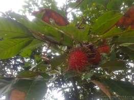 ンゴ、ランブータンのもぎたてはジューシーで美味しい。
