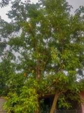 スターフルーツ มะเฟือง マフアン の木が家の庭にあった