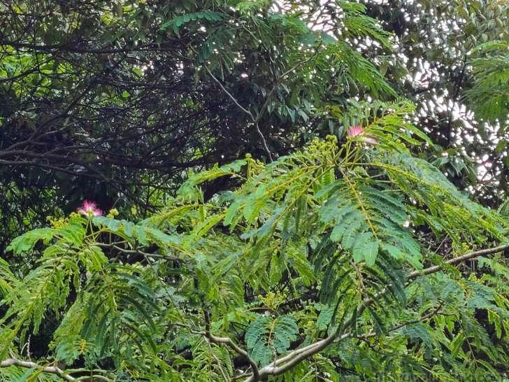 ネムノキが開花