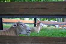 Moutons (photo Patrick Ta)