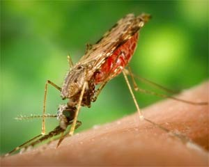 Malaria symptoms and causes malaria.com