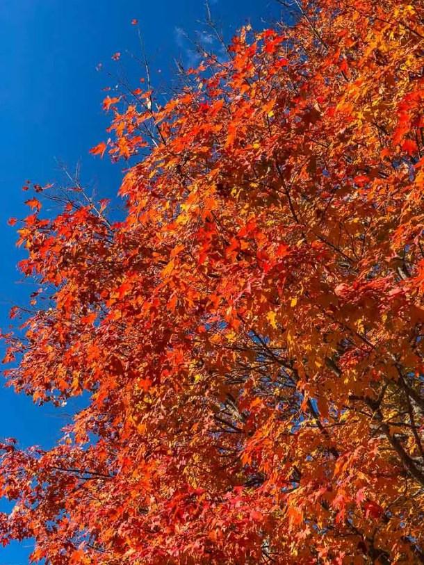 árvore com folhas laranja