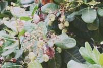 Cashew nuts growing