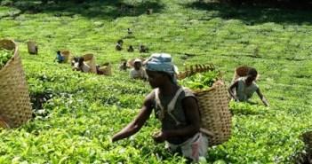 Malawi tea.