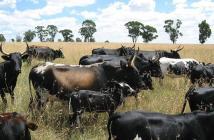 Malawi Cattle
