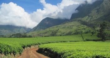 Malawi Tea
