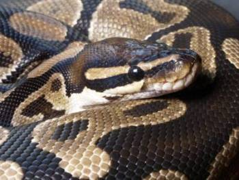 Husband wants wife to have sex with a snake