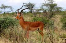 impala-entelopes