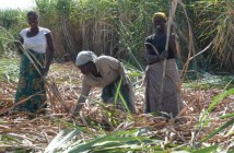 Kasinthula Cane Growers Limited