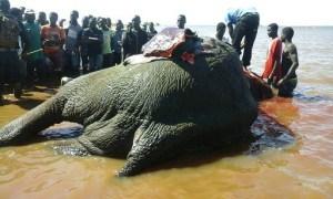 Malawi Elephant