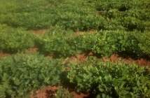 Groundnuts farm