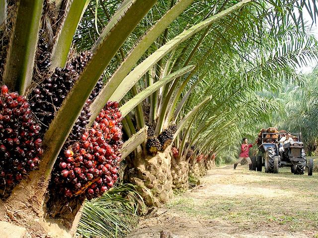 kelapa-sawit-ladang