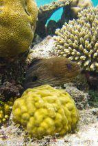 Vilamendhoo Moray Eel