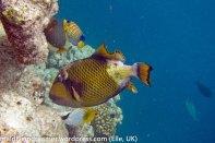 Biyadhoo Triggerfish