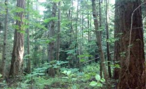 giant cedar trees