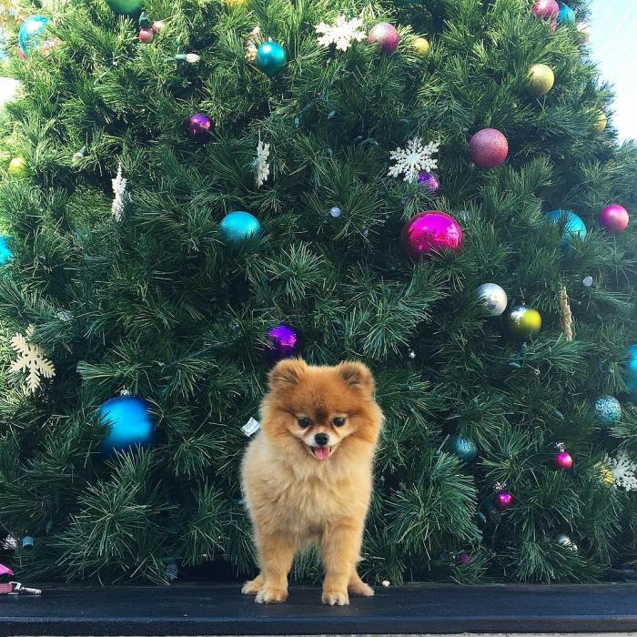 mimi-bear-mini-pomeranean-puppy-dog-walking-the-santa-monica-boardwalk-by-followmimibear-12-5-2016-05